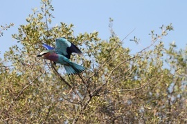 lilac breasted roller, lilac breasted roller photos, lilac breasted roller images, botswana wildlife, botswana wildlife images, botswana wildlife photos, africa wildlife, africa safari, botswana safari, botswana birds, africa birds