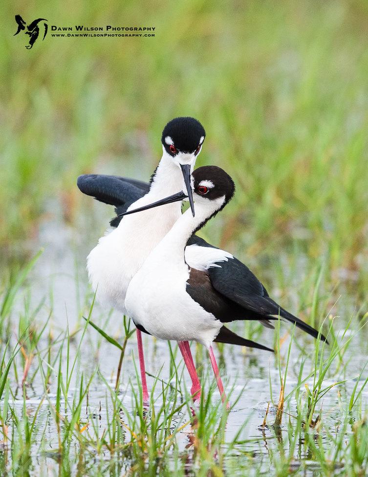 black-necked stilts, stilts, black-necked stilts photos, stilts photos, Louisiana wildlife, Louisiana birding,