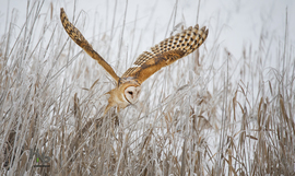 owl, owl photos, birds in the US, birds in Utah, owls in Utah, birding in the US, barn owl, barn owl photos