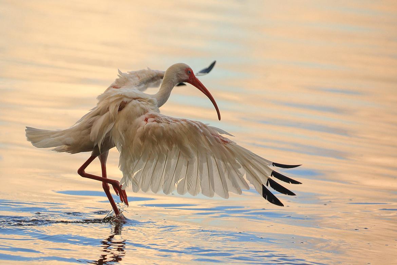 white ibis, white ibis photos, ibis, ibis photos, Florida wildlife, Florida birds, Seminole County, Seminole County wildlife photos, Florida birding