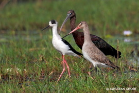 Black-tailed Godwit, Black-winged Stilt, Glossy Ibis, Black-tailed Godwit photos, Black-winged Stilt photos, Glossy Ibis photos, India wildlife, Chilka Lake, Chilka lake photos, birding in India