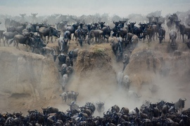 wildebeest, wildebeest photos, wildebeest migration, Tanzania migration, Tanzania wildlife, Africa migration, Serengeti National Park, Serengeti wildlife, the great migratioh
