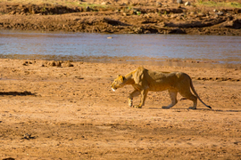 lion, lion photos, Kenya wildlife, Kenya wildlife photos, africa wildlife, africa wildlife photos, lions in Kenya, Kenya safari, Kenya safari photos, africa safari, africa safari photo, Samburu