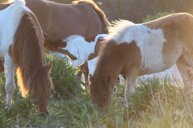 wild horse, Assateague Island, Assateague Island wildlife, Assateague Island wild horse, wild horse photos, Maryland wildlife, Maryland wildlife photos, United States wildlife, United States wild horses