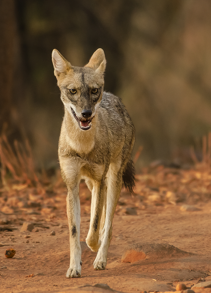 jackal, jackal photos, jackals in India, India wildlife, Bandhavgarh Tiger Reserve, Indian jackal