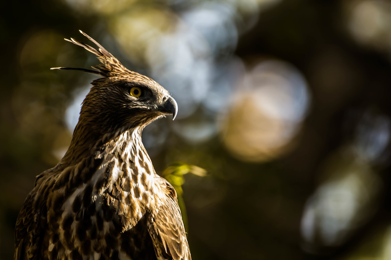 crested hawk eagle, crested hawk eagle photos, birding in India, India wildlife, India birds, birds in India, Gir National Park, Gir National Park widlife