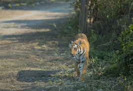 tiger photos, bengal tiger photos, tiger, bengal tiger, Jim Corbett National Park, Jim Corbett National Park wildlife, Jim Corbett National Park wildlife photos, india wildlife, india wildlife photos