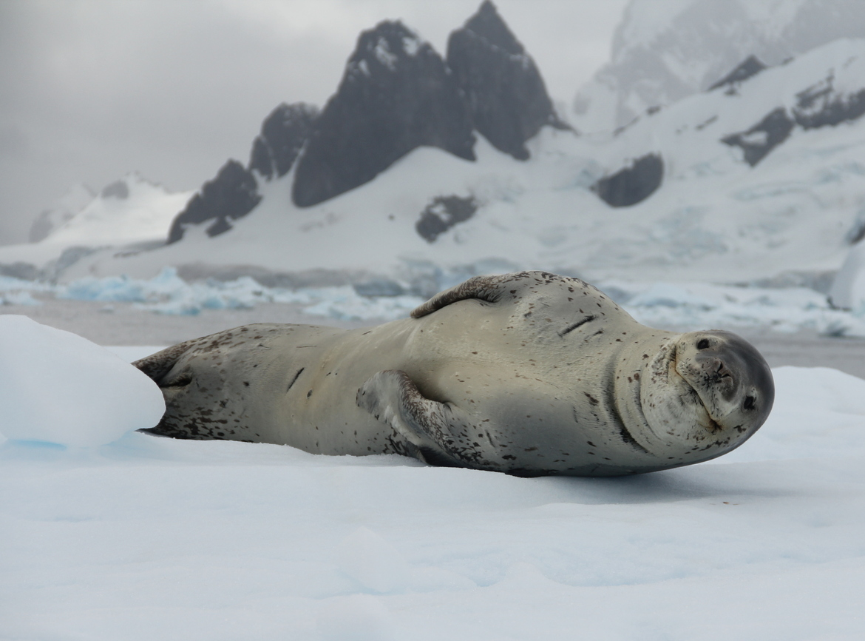 Leopard Seal, antarctica, Antarctic Peninsula, seal photography, photos of Antarctica