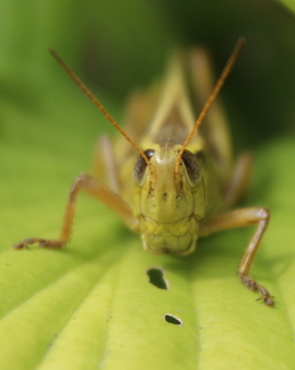 grasshopper, grasshopper photos, grasshopper microphotography, michigan wildlife, michigan insects, insect microphotography