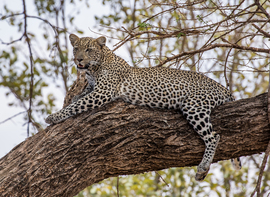 leopard, leopard photos, leopard images, kenya wildlife, kenya wildlife photos, kenya safari, kenya safari photos, african safari photos, african cats, leopards in africa, leopards in kenya, buffalo springs game reserve