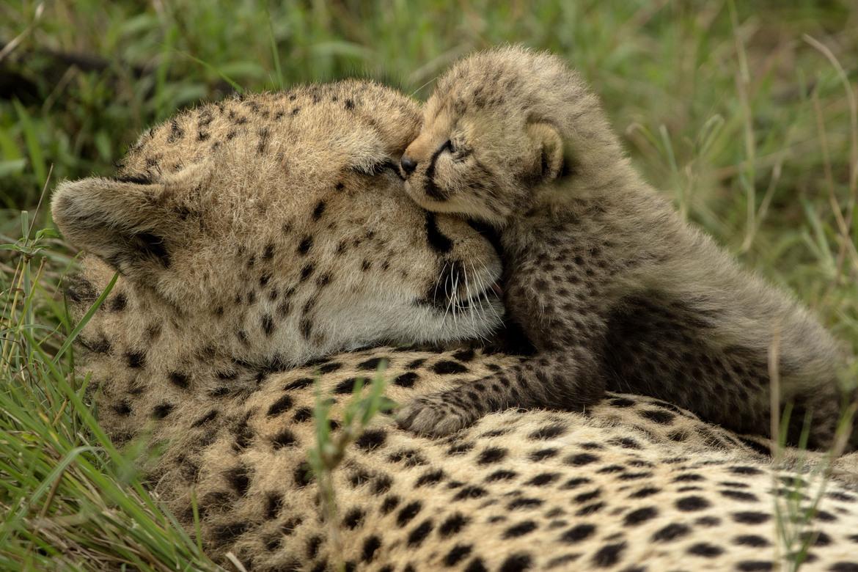 Cheetah, cheetah cub, cheetah cub photos, Kenya, Kenya wildlife, Kenya safari images, cheetah images, cheetah photos, kenya images, kenya photos