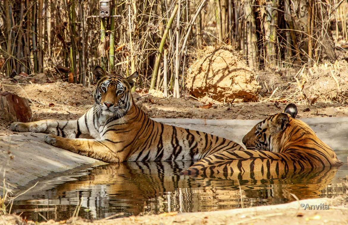 tiger photos, bengal tiger photos, tiger, bengal tiger, Bandavgarh National Park, Bandavgarh National Park wildlife, Bandavgarh National Park wildlife photos, india wildlife, india wildlife photos