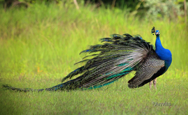 peacock, peacock photos, peafowl, Indian peafowl, India wildlife, India birds, birding in India, Prune