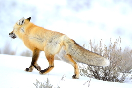 red fox, red fox photos, red fox images, wildlife in the US, united states wildlife, united states wildlife photos, us wildlife photos, wildlife in Wyoming, foxes in Wyoming, Yellowstone National Park, Yellowstone wildlife, wildlife in Yellowstone