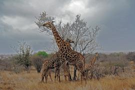 Grid giraffe in oil painting