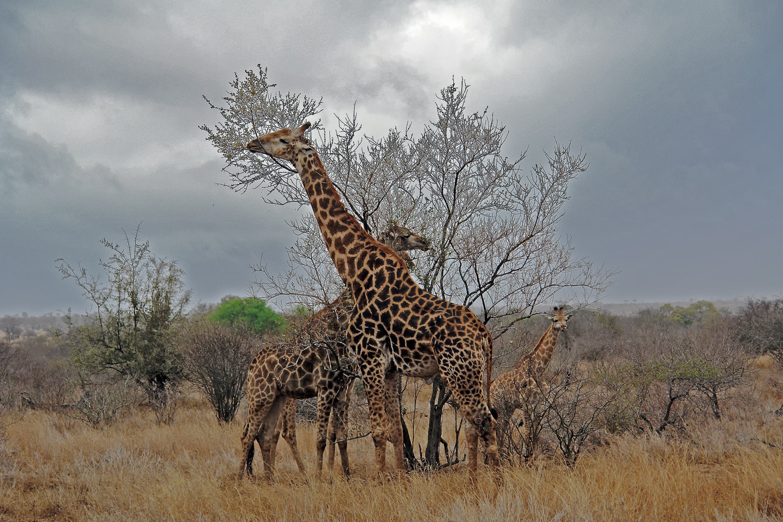 giraffe, giraffe photos, giraffe images, south africa wildlife, south africa wildlife photos, african safari photos, giraffes in south africa, Kruger National Park, Kruger National Park wildlife photos, Kruger National Park wildlife