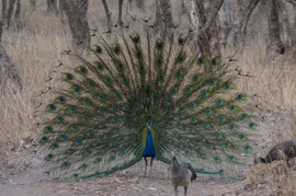 peacock, peacock photos, peafowl photos, peafowl, India wildlife, India birds, birding in India, Ranthambore National Park, Ranthanbore wildlife