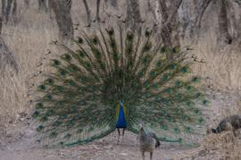 Grid peacock