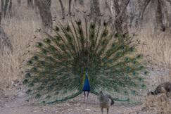 peacock, peacock photos, peafowl photos, peafowl, India wildlife, India birds, birding in India, Ranthambore National Park, Ranthanbore wildlife