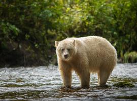 spirit bear, spirit bear photos, spirit bear pictures, great bear rainforest, great bear rainforest wildlife, british columbia wildlife, Canada wildlife