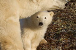 polar bear, polar bear in churchill, polar bear cub, cub photos, polar bear in canada, canada wildlife, canada polar bears, canada wildlife images, polar bear images, canada wildlife photos, polar bear photos, churchill wildlife, churchill wildlife photos