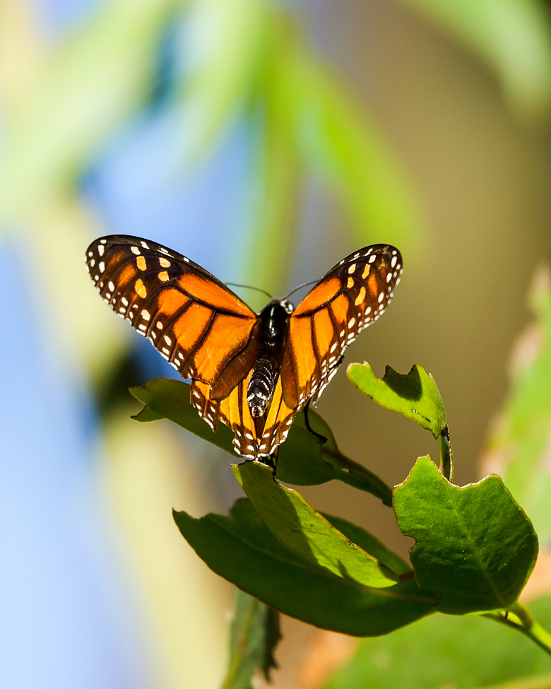 monarch butterfly, monarch butterfly photos, US wildlife, monarchs in the US, California wildlife, monarch migration, Pismo Beach