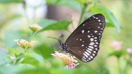 Euploea Core, Euploea Core photos, common crow butterfly, common indian crow, Australian crow, Eden Gardens, India wildlife