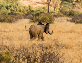 elephant, african elephant, elephant photos, african elephant photos, kenya wildlife, kenya wildlife photos, africa wildlife photos, africa wildlife, african safari photos, samburu wildlife, samburu wildlife photos, baby elephant, baby elephant photos