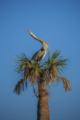 great blue heron, great blue heron photos, great blue heron nesting, birds in Florida, birds in the US, Viera Wetlands