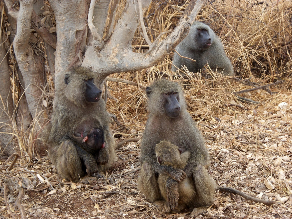 baboon, baboon photos, baboons nursing, mother baboons, baboon mothers, primates in Africa, primates in Tanzania, baboons in Tanzania, photos of baboons in Tanzania, Tarangire National Park, Tarangire National Park wildlife