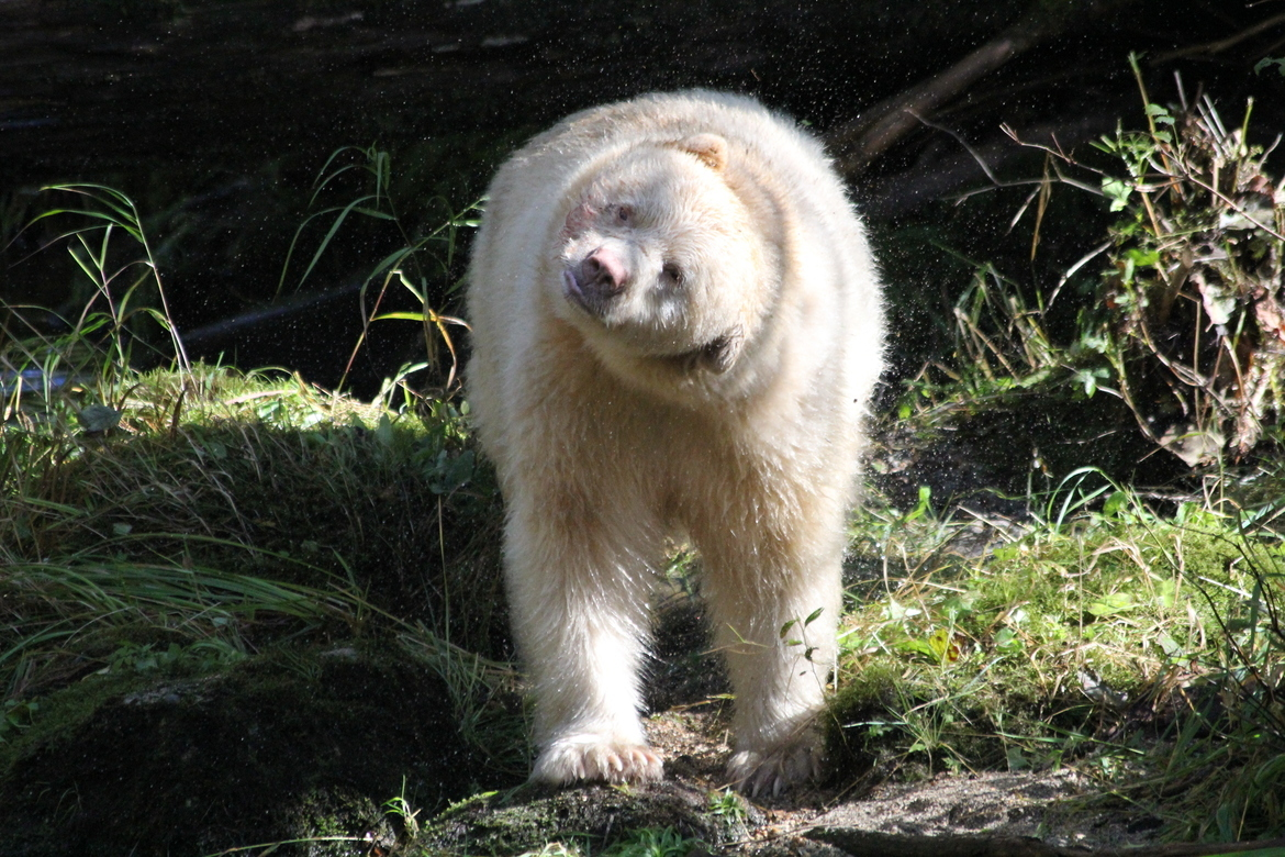 spirit bear, spirit bear photos, black bear, Great Bear Rainforest, Great Bear Rain Forest, bear photos, Canada bears, bears in Canada, bears in British Columbia, British Columbia wildlife