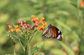 Danaus Genutia, Danaus Genutia photos, common tiger butterfly, India wildlife, India butterflies, Hyderabad, Hyderabad wildlife