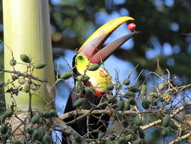 toucan, toucan photos, toucan images, yellow-billed toucan, costa rica wildlife, costa rica wildlife photos, costa rica wildlife images, corcovado national park, wildlife, corcovado national park, yellow-throated toucan photos
