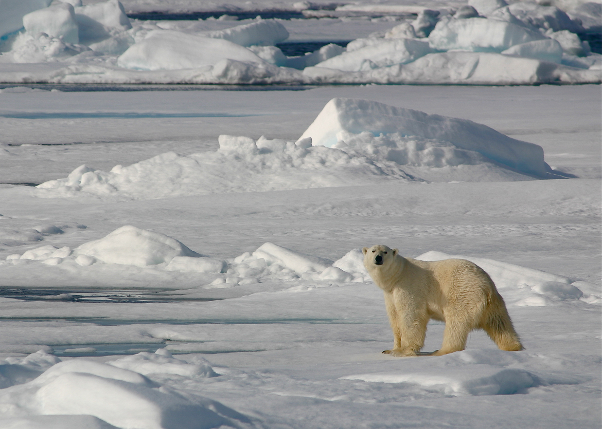 polar bear, polar bear in Svalbard, arctic wildlife, arctic wildlife images, polar bear images, Svalbard wildlife photos, polar bear photos