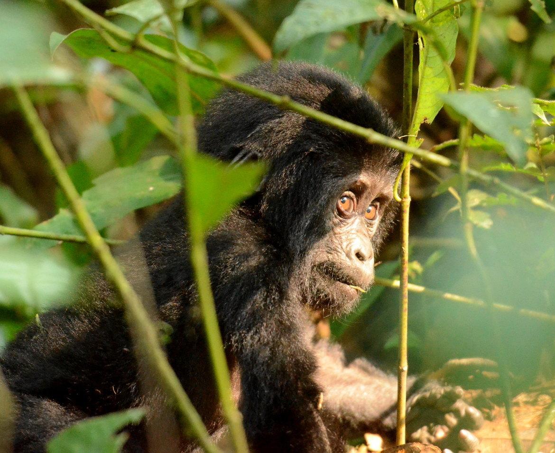Mountain Gorilla, mountain gorilla photos, gorillas in Uganda, african safari, african primates, uganda wildlife, Uganda wildlife photos, mountain gorilla baby, bwindi impenetrable forest, bwindi impenetrable forest wildlife