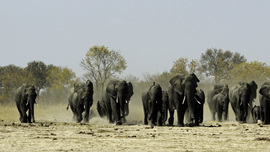 elephant, african elephant, elephant photos, african elephant photos, Zimbabwe wildlife, Zimbabwe wildlife photos, africa wildlife photos, africa wildlife, african safari photos, Hwange wildlife, Hwange wildlife photos, Hwange National Park