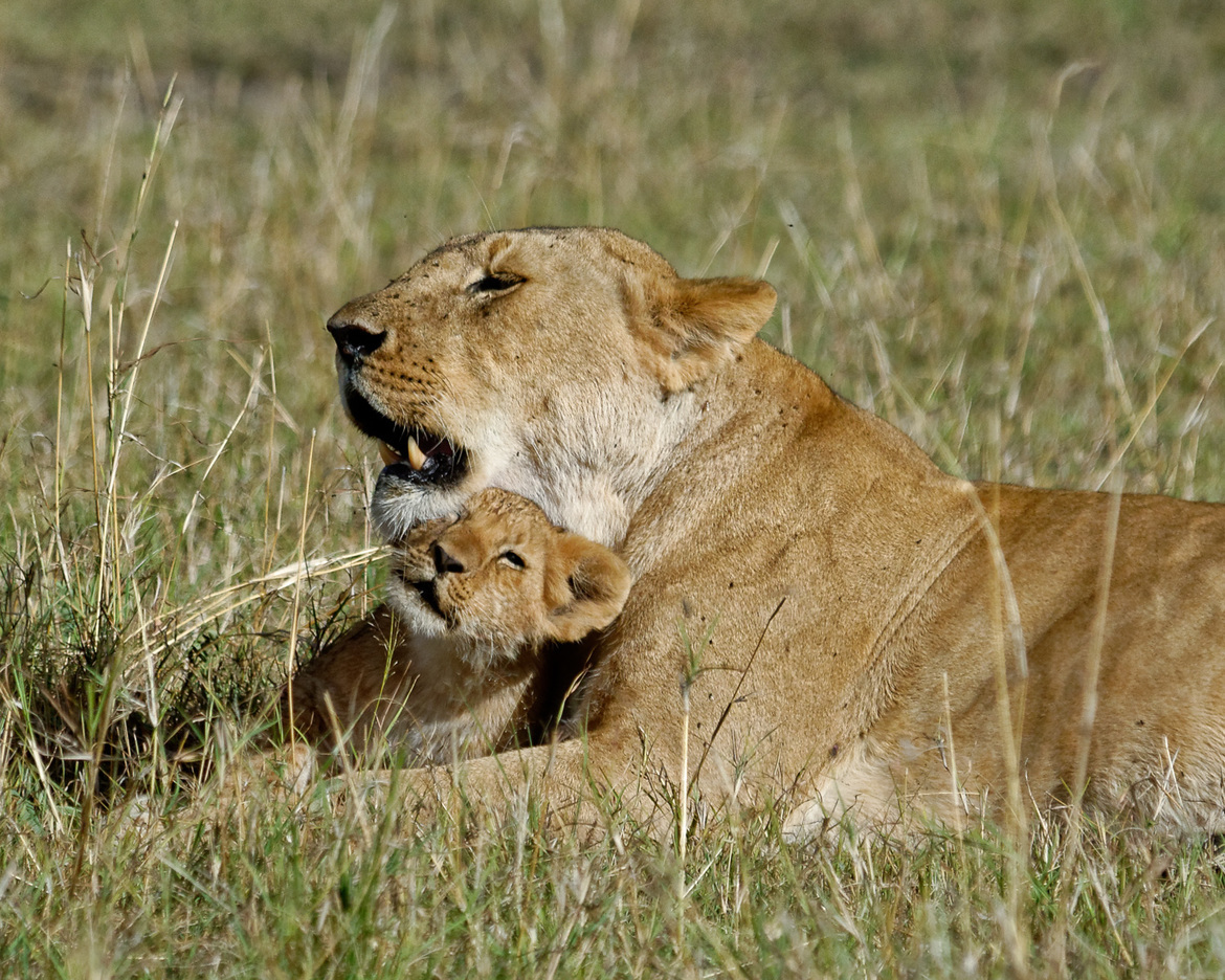 lion, lion photos, lion cub, lion cub photos, Kenya wildlife, Kenya wildlife photos, africa wildlife, africa wildlife photos, lions in Kenya, photos of lions in Kenya, Kenya safari, Kenya safari photos, africa safari, africa safari photo