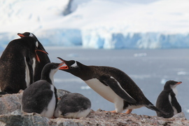 penguins, penguin photos, penguin images, antarctica wildlife, penguins in antarctica, gentoo penguin, gentoo penguin photos