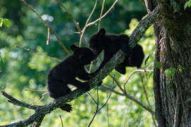 black bear, black bear photos, bears in the US, photos of bears in the US, US wildlife, black bear cub, black bear cub photos, Smoky Mountains, Smoky Mountain wildlife, bears in the Smoky Mountains