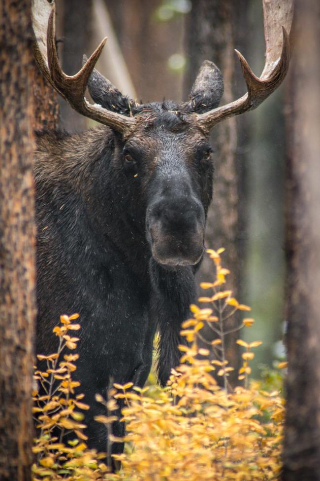 moose, bull moose, moose photos, bull moose photos, North Park, North Park wildlife, moose in Colorado, Colorado photos