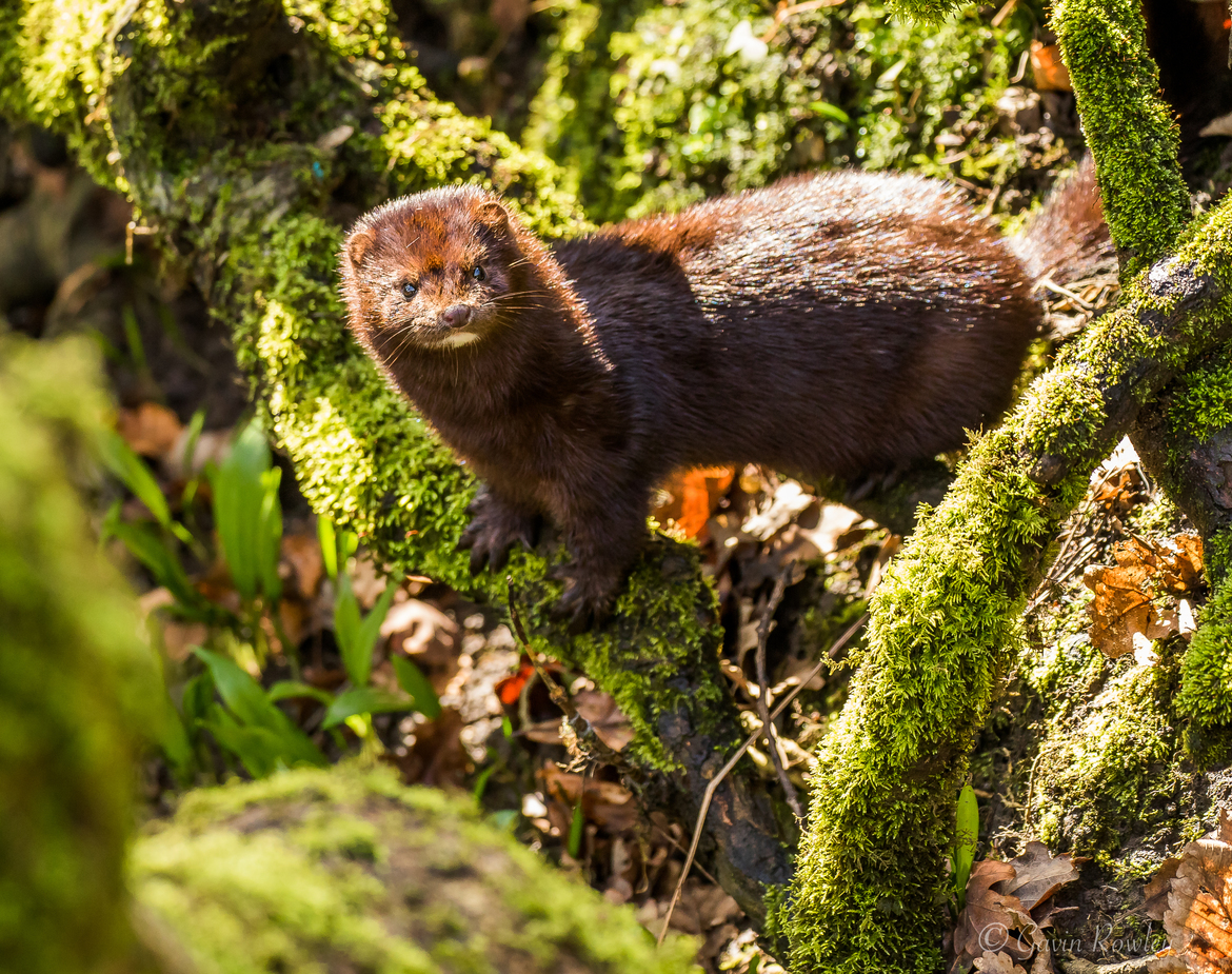 mink, mink photos, England wildlife, Europe wildlife, european mink, european mink photos