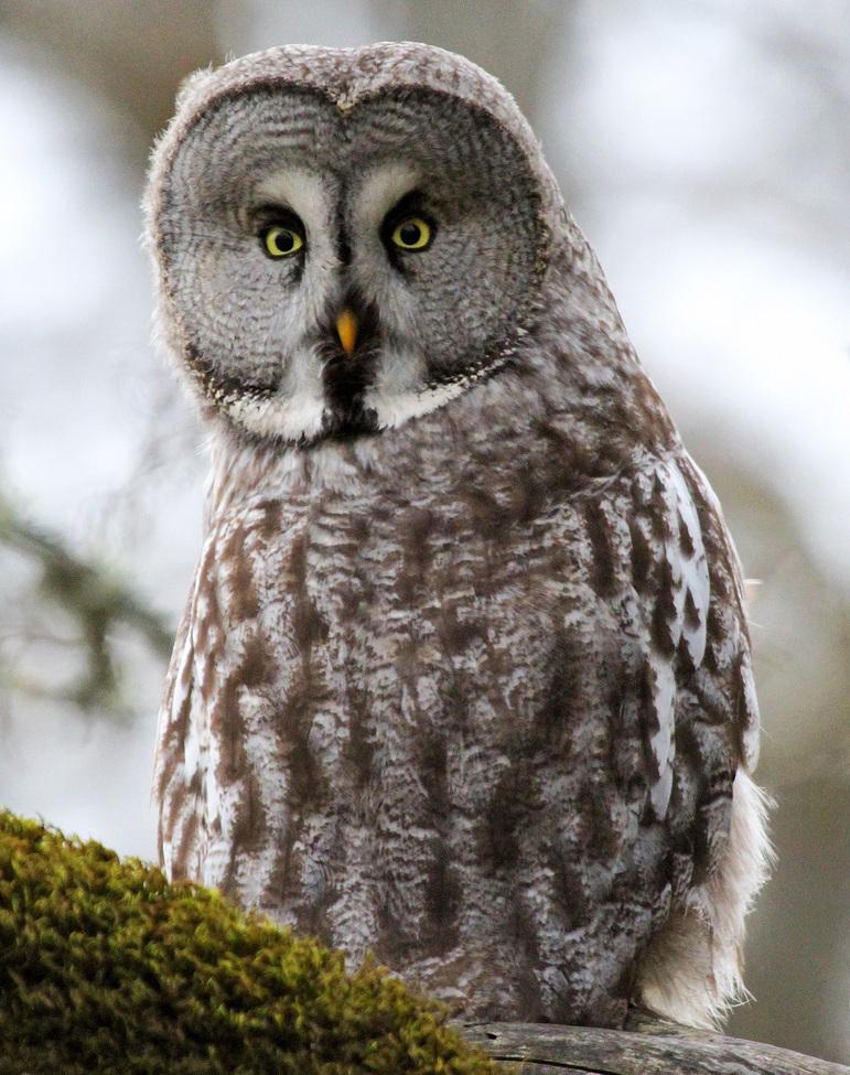 owl, owl photos, great grey owl, great grey owl photos, sweden wildlife, sweden wildlife photos, birds in sweden, birds in europe, owls in sweden, owls in europe