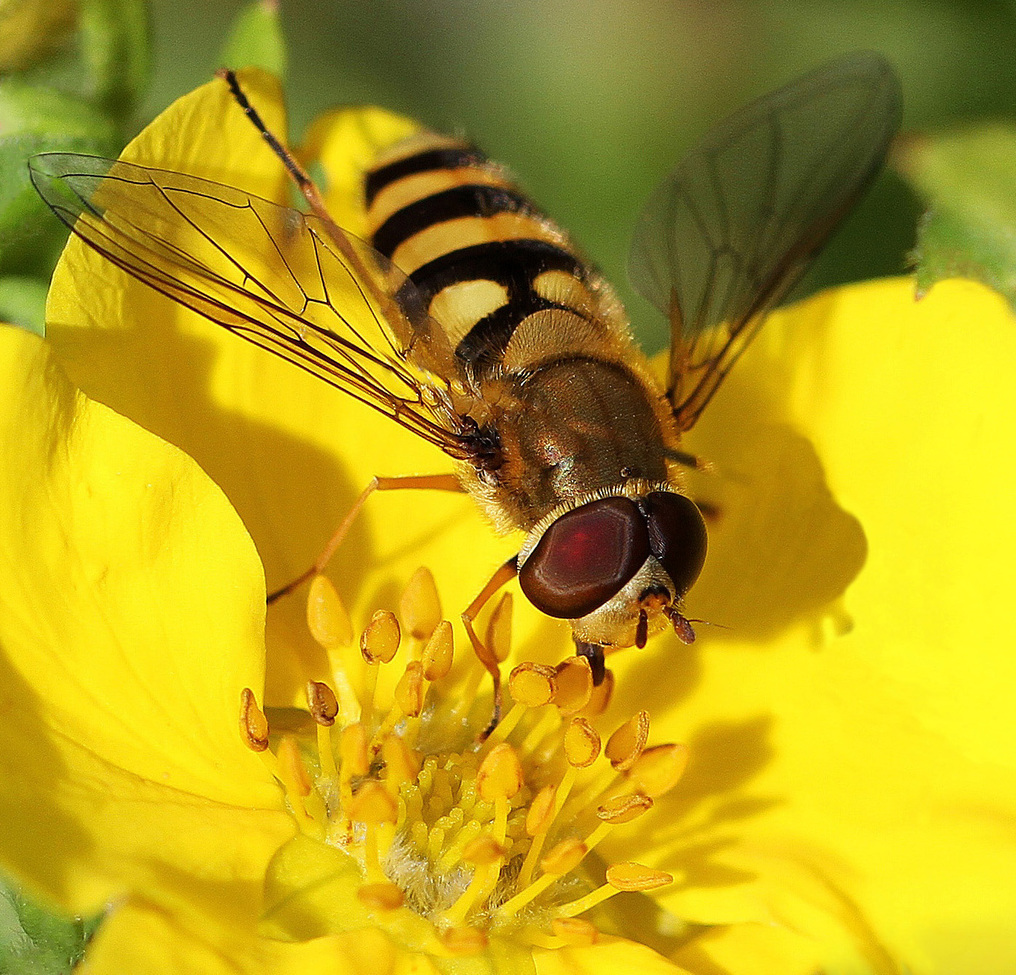 hoverfly, flower fly, syrphid fly, hoverfly photos, hoverfly images, sweden insects, macrophotography