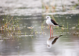black-winged stilt, black-winged stilt photos, birds in India, India birding, Kelageri Lake,