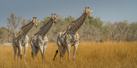 giraffe, giraffe photos, giraffe images, Botswana wildlife, Botswana wildlife photos, african safari photos, giraffes in Botswana, moremi game reserve, wildlife in moremi game reserve