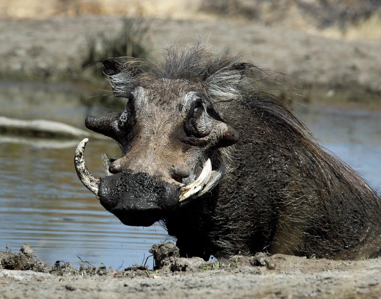 warthog, warthog photos, Botswana wildlife, warthogs in Africa, warthogs in Botswana, Botswana wildlife, Africa wildlife, Mashatu Game Reserve
