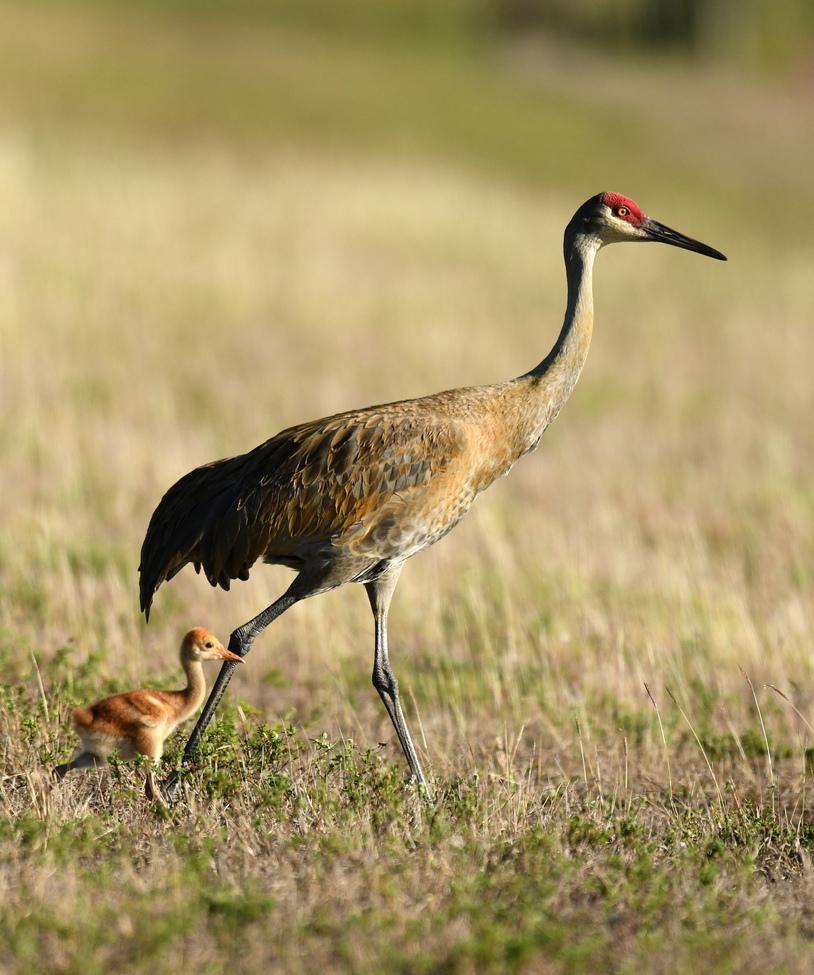 sandhill crane, sandhill crane photos, cranes, crane photos, cranes in the united states, united states wildlife, united states birds, wildlife in america, birds in america, birds in Florida, Florida wildlife