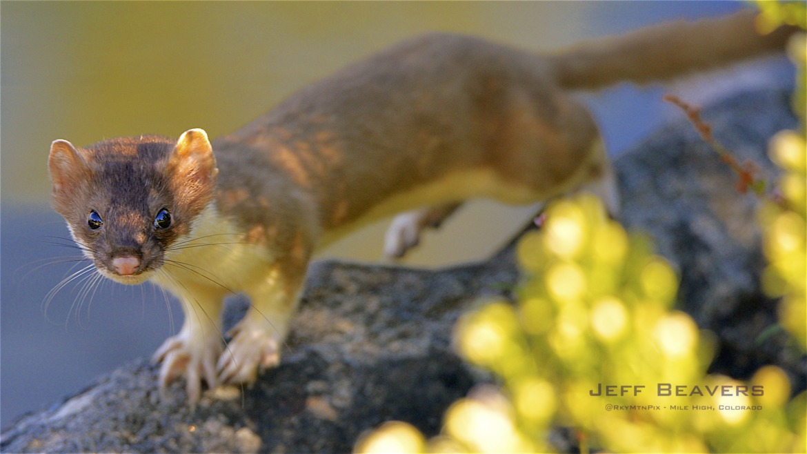 weasel, weasel photos, yellow-tailed weasel photos, Colorado wildlife