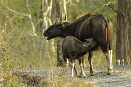 Indian gaur, gaur, indian gaur photos, gaur photos, baby gaur, bay gaur photos, nursing gaur, Mudumalai National Park, Mudumalai National Park wildlife