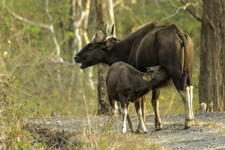Indian gaur, gaur, indian gaur photos, gaur photos, baby gaur, bay gaur photos, nursing gaur, Mudumalai National Park, Mudumalai National Park wildlife